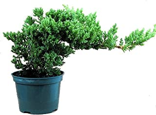 Japanese Juniper Bonsai Starter Tree - 4