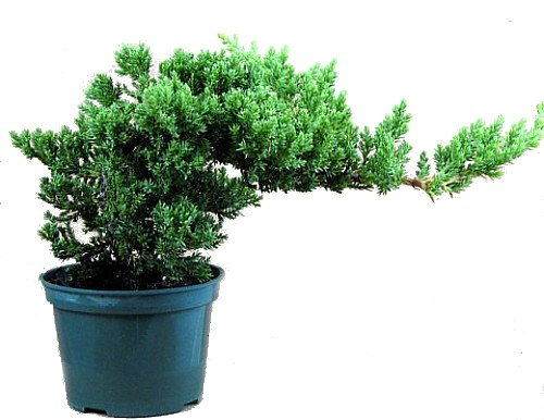 Japanese Juniper Bonsai Starter Tree - 4' pot