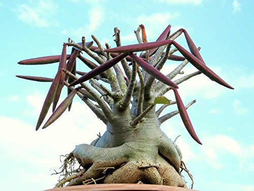 Adenium-Arabicum-SHADA-pachycaule-désert-rose-bonsai-cactus-caudex-graine-15-graines