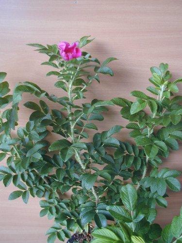 Hagebutte Rosa rugosa 30-40 cm hoch im 3 Liter Pflanzcontainer