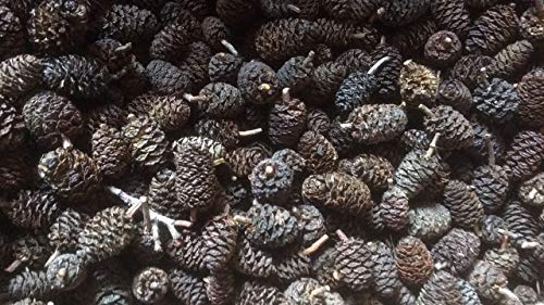Erlenzapfen ~500Stk.(=200g), Schwarzerle, Alnus glutinosa, black alder cones von catappa-leaves