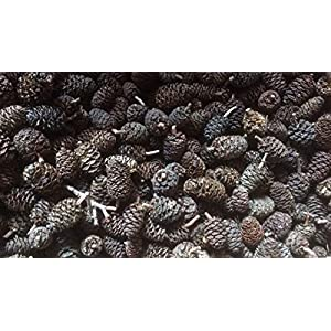 Erlenzapfen-500Stk200g-Schwarzerle-Alnus-glutinosa-black-alder-cones-von-catappa-leaves
