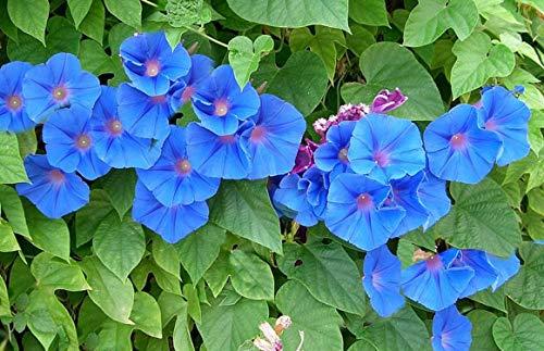 40 Graines d'Ipomée Bleu - fleurs grimpante jardins potager - méthode BIO