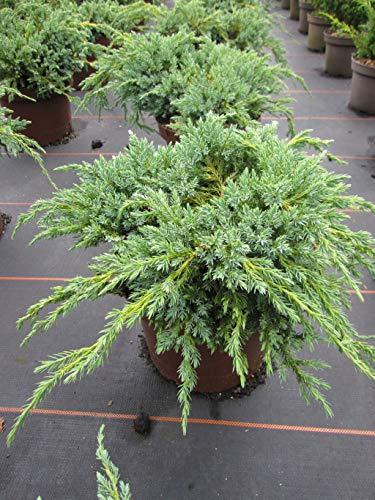 Juniperus squamata Blue Carpet - Blauer Kriechwacholder Preis nach Stückzahl Einzelpreis