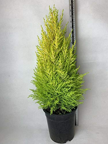 2 x Cupressus Wilma Goldcrest Conifer Árbol en un 2 LPot Ev