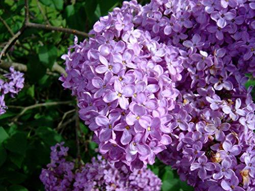 Common Lilac Bush - Purple Flowering Shrub - Live Plant Shipped 1-2 Feet Tall by DAS Farms (No California)