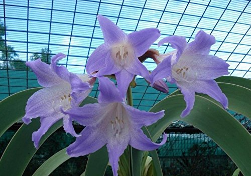 2016 Hippeastrum semillas bulbos de azucena bonsai barbados jardín de casa de bricolaje lirio lirio de flores en maceta 100 piezas de semillas bonsai balcón / bolsa