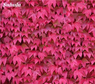 Mélanger Boston Seeds 100% vrai Parthenocissus tricuspidata semences Plantes d'extérieur QUASIMENT soins décoratifs Escalade usine 100 Pcs 7
