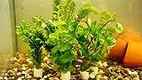 5 Bund Kaltwasser-Set Aquariumpflanzen Wasserpflanzen 30 Stängel