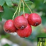 semi di biancospino alberi da frutto di circa 50 semi