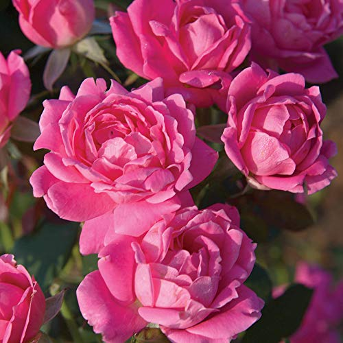 Double Pink Knockout Shrub Rose, Live Bareroot Plant with Pink Flowers