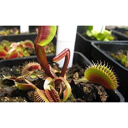 Semillas plantas carnívoras mix Dionaea muscipula