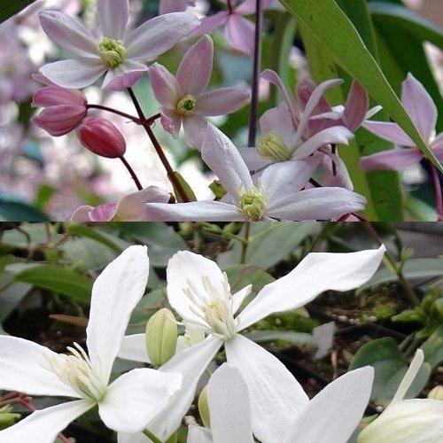 2 immergrüne Clematis Kletterpflanzen: Clematis Apple Blossom & Clematis Armandii - Rosa/Weiß une Immergrün - 1,5 Liter Topfen | ClematisOnline Kletterpflanzen & Blumen