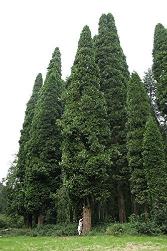 Gigantische Weihrauchzeder (Calocedrus decurrens) 20 Samen -Bis zu 69 Meter hoher Wachstum-