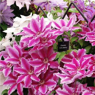 Kalash New 100pcs Clematis Blumensamen für Garten Pink 2