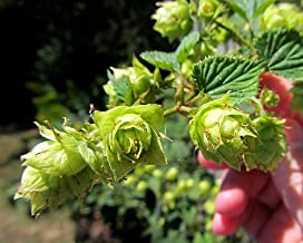 Willamette Beer Hops Vine - Humulus - Grow Your own Beer - 4