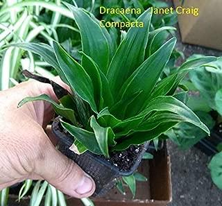1 Live Plant Dracaena Janet Craig Compacta #JP11