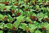 Seekay Perilla Bi - Color - Shiso - Japonés Albahaca - Aprox 340 Semillas - Vegetal/Hierba