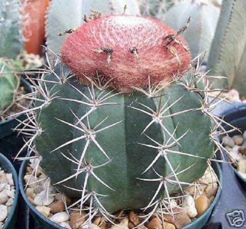 Sales Melocactus Bahiensis Cacti Rare Max 66% OFF Globular Garden Cactus r Outdoor