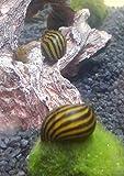 Topbilliger Tiere Zebra Rennschnecke Neritina turrita 10x