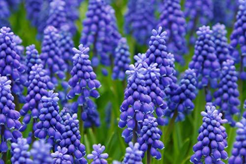 HOT !! - 24 Bulb Grape Hyacinth Muscari Fragrant Blue Purple Ground Cover Flower Seeds