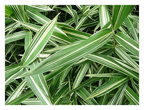 5 x Pleioblastus variegatus (Ziergras/Gräser/Stauden) Zwerg Bambus ab 5,49 € pro Stück