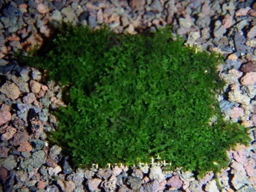 AquaFert Riccardia SSP. - Korallenmoos