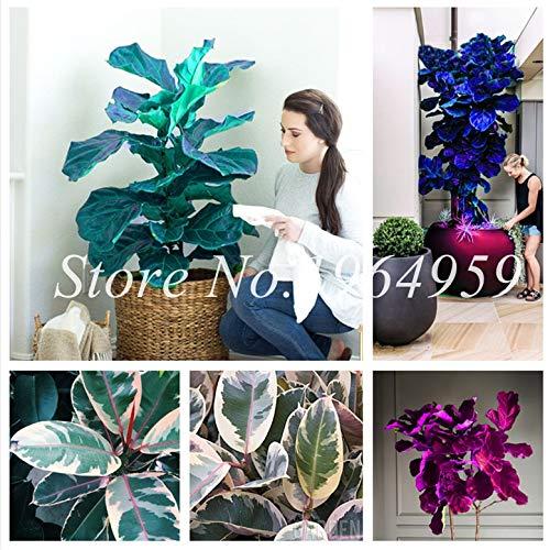RETS Bonsai 50 PC chinesische Ficus benjamina Bonsai Pflanzen Blumen Topf Bonsai Variety komplette Hausgarten-Anlagen Easy Grow: gemischt