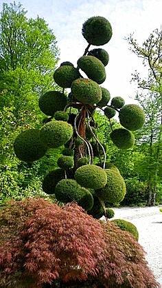 30pcs/sac gaint Deodar graines de cèdre de l'Himalaya Cedar Cedrus Deodara Arbre Graines Monde Rare Bonsaï jardin plante 5
