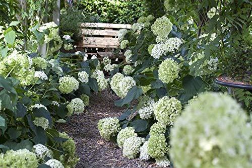 Ballhortensie 'Annabelle' Hydrangea arborescens ca. 60cm im Topf gewachsen