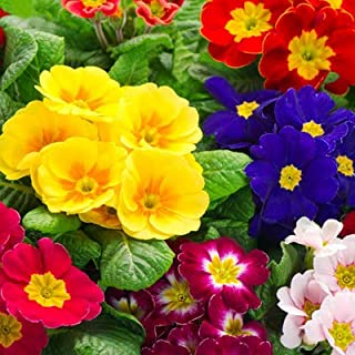 Europe Primula Flower Seeds 20pcs Organic Showy Evening Primrose Mixed Colors Seeds for Home Garden Outdoor Yard Farm Planting
