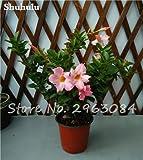 50 pc/sacchetto rari semi Dipladenia sanderi perenni Arrampicata Mandevilla sanderi Fiore ornamentali da esterno Bonsai Garden piante