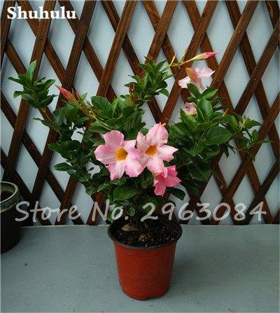 50 Pcs / sac Rare Dipladenia Sanderi Graines vivaces Escalade Bonsai Mandevilla Sanderi fleurs ornementales d'extérieur Jardin Plant 24