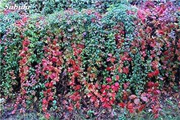 VISTARIC 2: Mix Boston Seeds 100% vrai Parthenocissus tricuspidata semences Plantes d'extérieur QUASIMENT soins décoratifs Escalade usine 100 Pcs 2