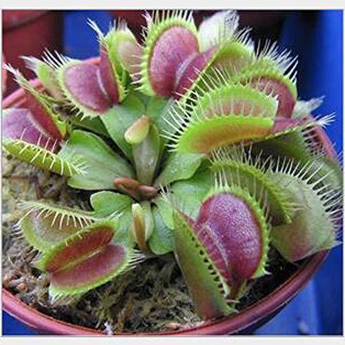 LEDGOO Sonnentau Samen Drosera Fleischfressende Blume Indoor Bonsai Venus Fliegenfalle Insektenfressende Pflanzen Samen
