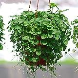 Dichondra Repens Copertura del suolo Semi di piante 50+ Piante di erba Appesi Piante da giardino decorative Acqua Erba Semi Facile Pianta acquatica dal vivo