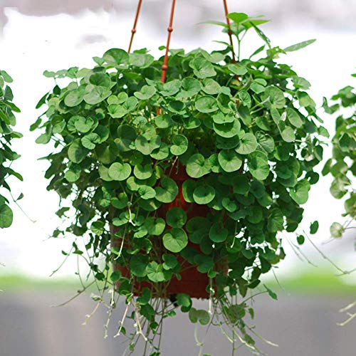 Dichondra Repens Copertura del suolo Semi di piante 50+ Piante di erba Appesi Piante da giardino decorative Acqua Erba Semi Facile Pianta acquatica da