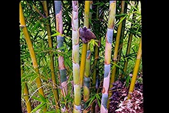 Oldhamii Giant Timber Clumping Bamboo Bambusa