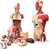 Le Modèle Anatomique 85CM des Organes Humains, Les Modèles Anatomiques Médicaux du Torse Et Des Organes Internes Peuvent Être Divisés en 29 Parties, Peints À La Main Purs Avancés