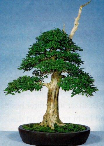 TROPICA - Agnocasto (Vitex agnus - castus) - 100 Semi- Bonsai