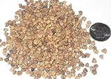 Paquete de semillas japoneses Zelkova Árbol, Zelkova Serrata Semillas ideal para Bonsai 10
