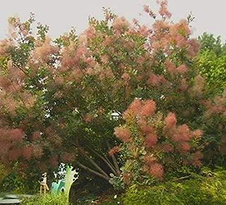 1 oz Seeds (Approx 2440 Seeds) of Cotinus coggygria, European Smoketree, Smoke Bush