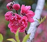 Japanische Aprikose Chinesische Pflaumensamen 5+, Prunus Mume, Baumsamen Mume Winter süße Blume...
