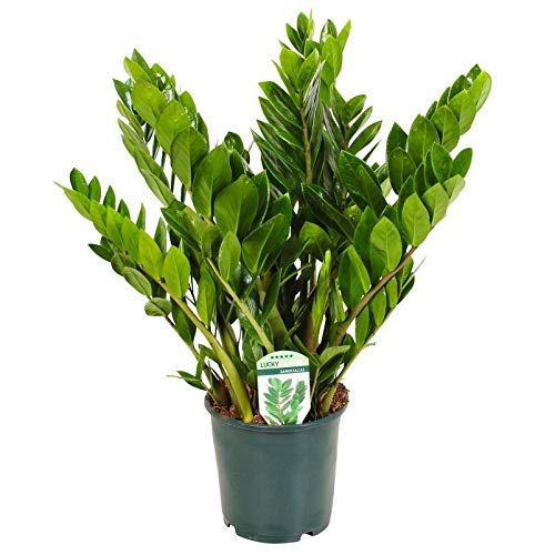Pflanzen Kölle Kompakte Glücksfeder, Zamioculcas zamiifolia 'Lucky', Höhe ca. 75 cm