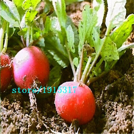 radis saucisses, des graines de radis, graines de légumes de croissance rapide saine - 100 particules de semences
