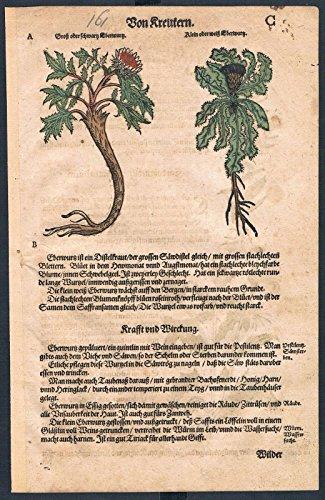 Eberwurzen Eselsdistel herbal Kräuter Kräuterbuch Lonicer Holzschnitt
