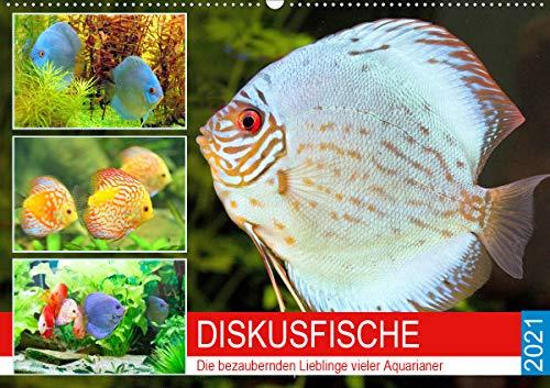 Diskusfische. Die bezaubernden Lieblinge vieler Aquarianer (Wandkalender 2021 DIN A2 quer)