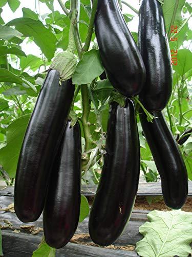 Portal Cool Liveseeds - Aubergine Long Black 10 graines fraîches
