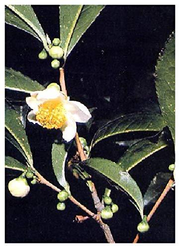TROPICA - Théier (Camelia sinensis) - 10 graines- Plante utile