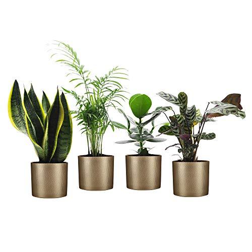 Mix di 4 piante di facile cura con vasi decorativi | Sansevieria, Chamaedorea, Clusia, Ctenanthe | Piante verdi per interni | Altezza 30-50cm | Vaso Golden MICA DECORATIONS Ø 14cm